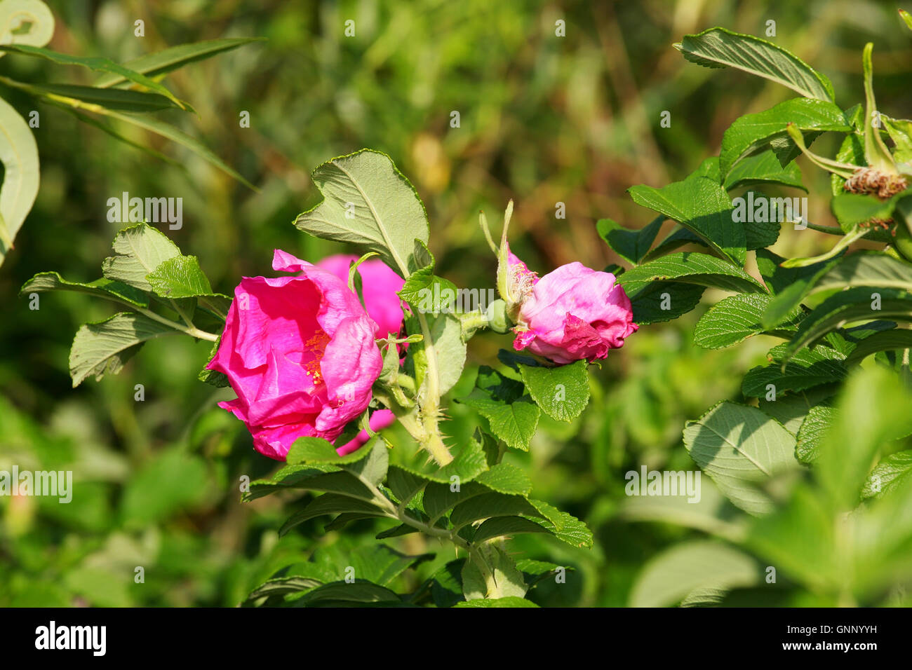 Red and wild roses - Stock Image