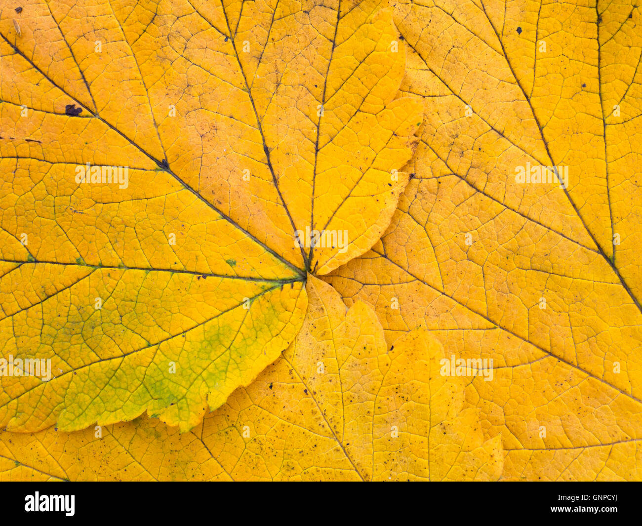 Bright yellow autumn leaves with veins closeup background - Stock Image