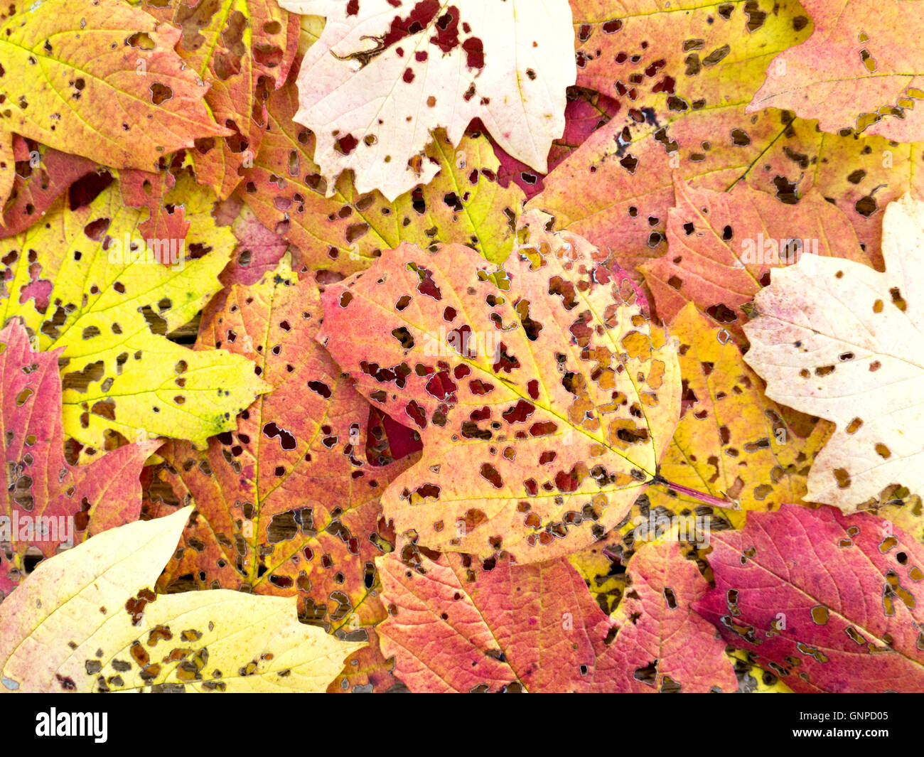 Fall colored viburnum leaves perforated by pest insects - Stock Image