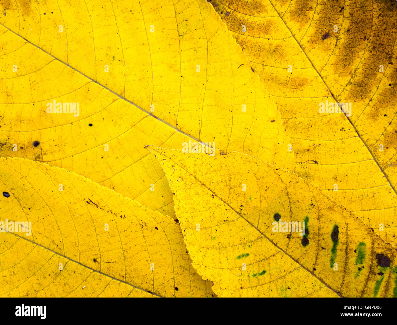 Bright yellow and brown fall leaves with veins background - Stock Image