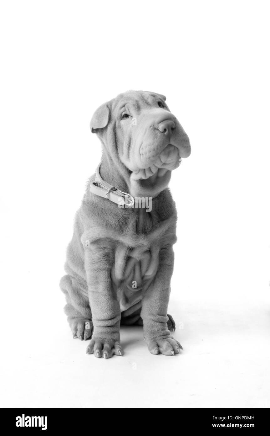 Chinese Shar Pei puppy dog - Stock Image