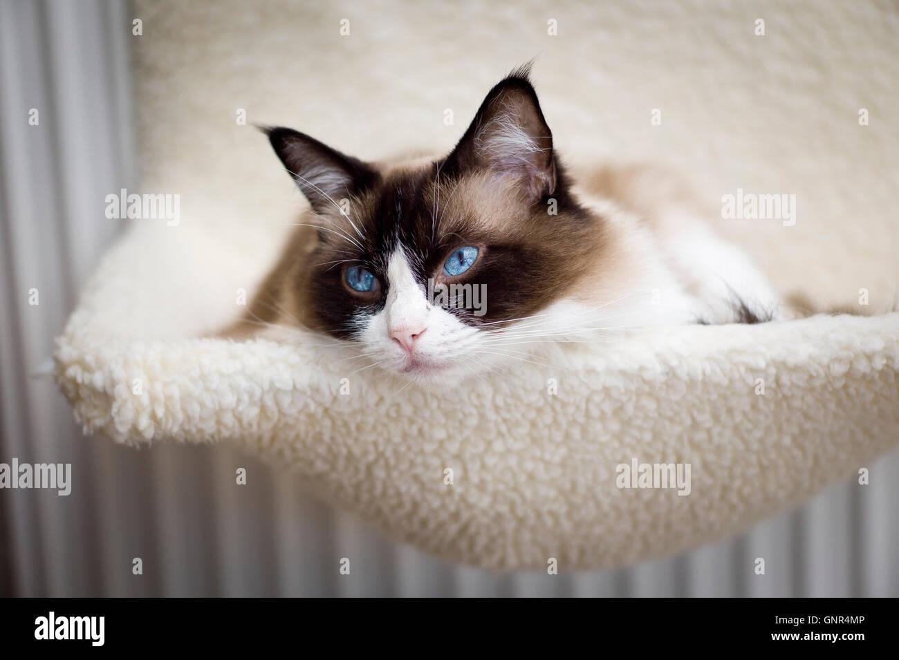 Ragdoll cat relaxing in a radiator hammock - Stock Image