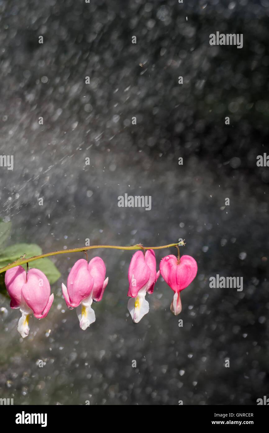 04.06.2016, Berlin, Deutschland - Blueten von Traenendes Herz im Regen. 0GB160604D102CARO.JPG [MODEL RELEASE: NOT Stock Photo