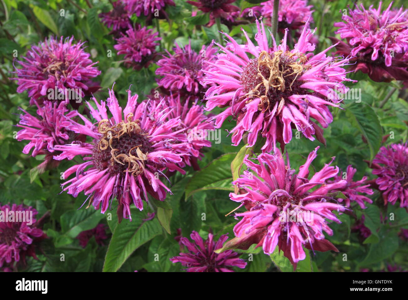 A clump of purple bergamot (monarda fistulosa) flowers in the herbaceous border of an English garden in August - Stock Image