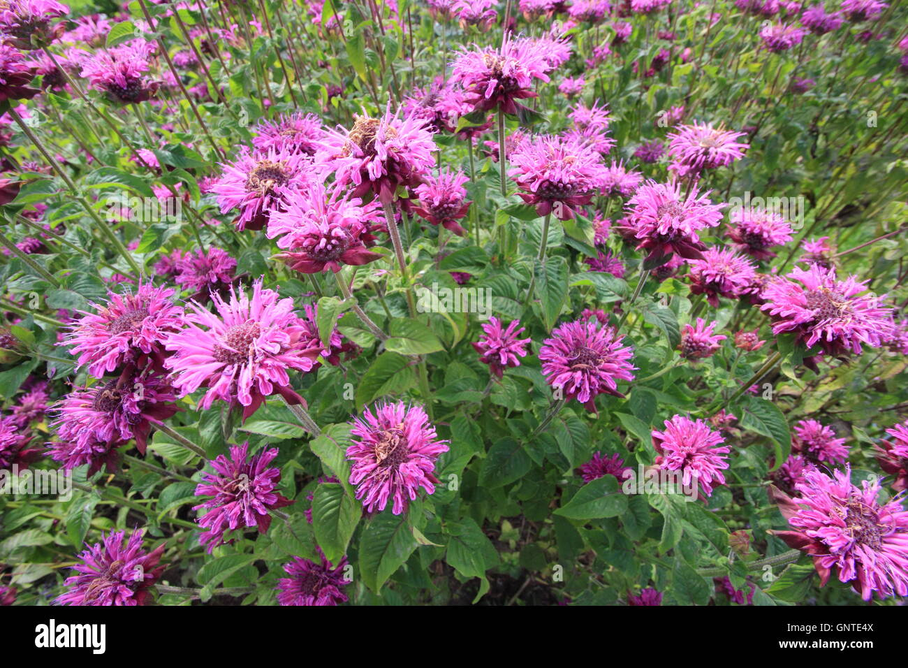 Monarda fistulosa. Bergamot flowers in the herbaceous border of a traditional English garden - August, UK Stock Photo
