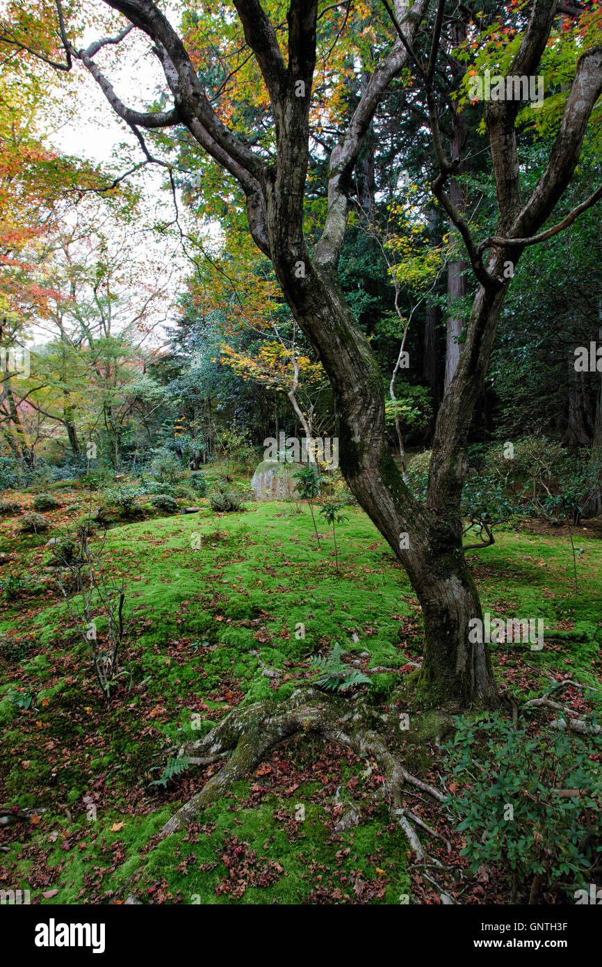 humid tree with moss during autumn in a forest - Stock Image