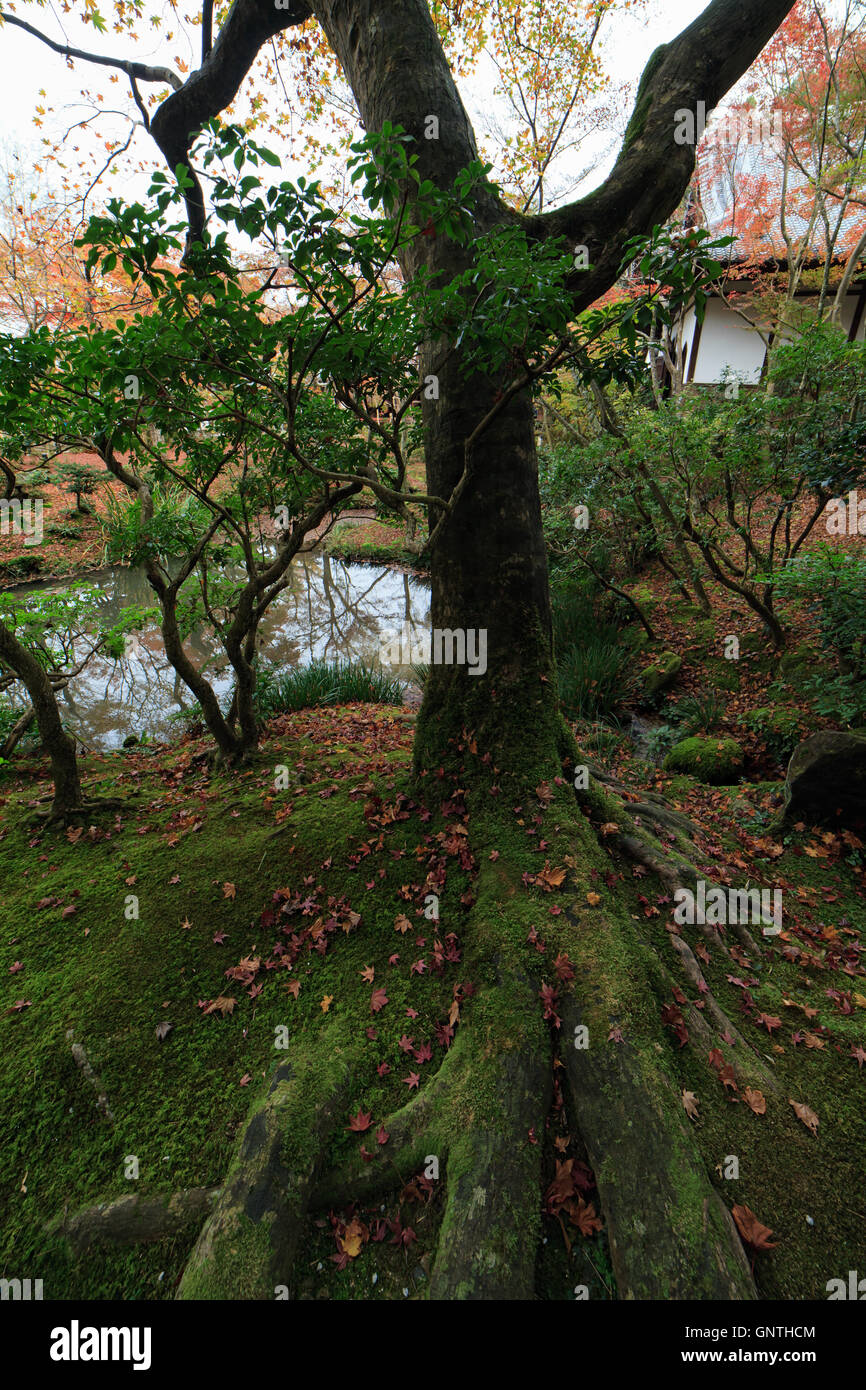 humid tree with fallen leaves in autumn in kyoto japan - Stock Image
