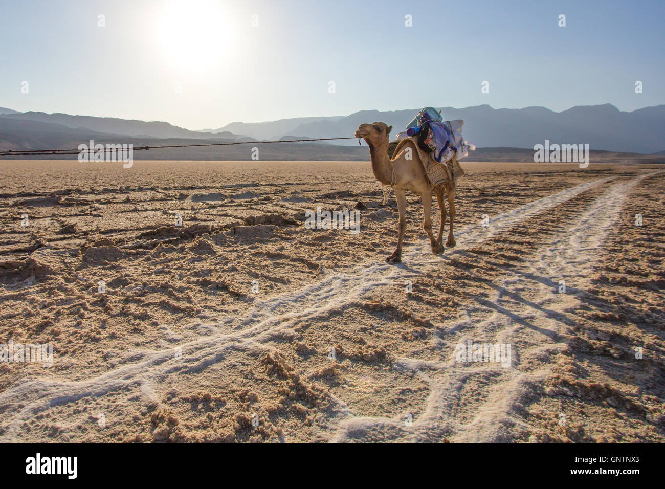 Camel caravan crossing salt flats in Djibouti. - Stock Image