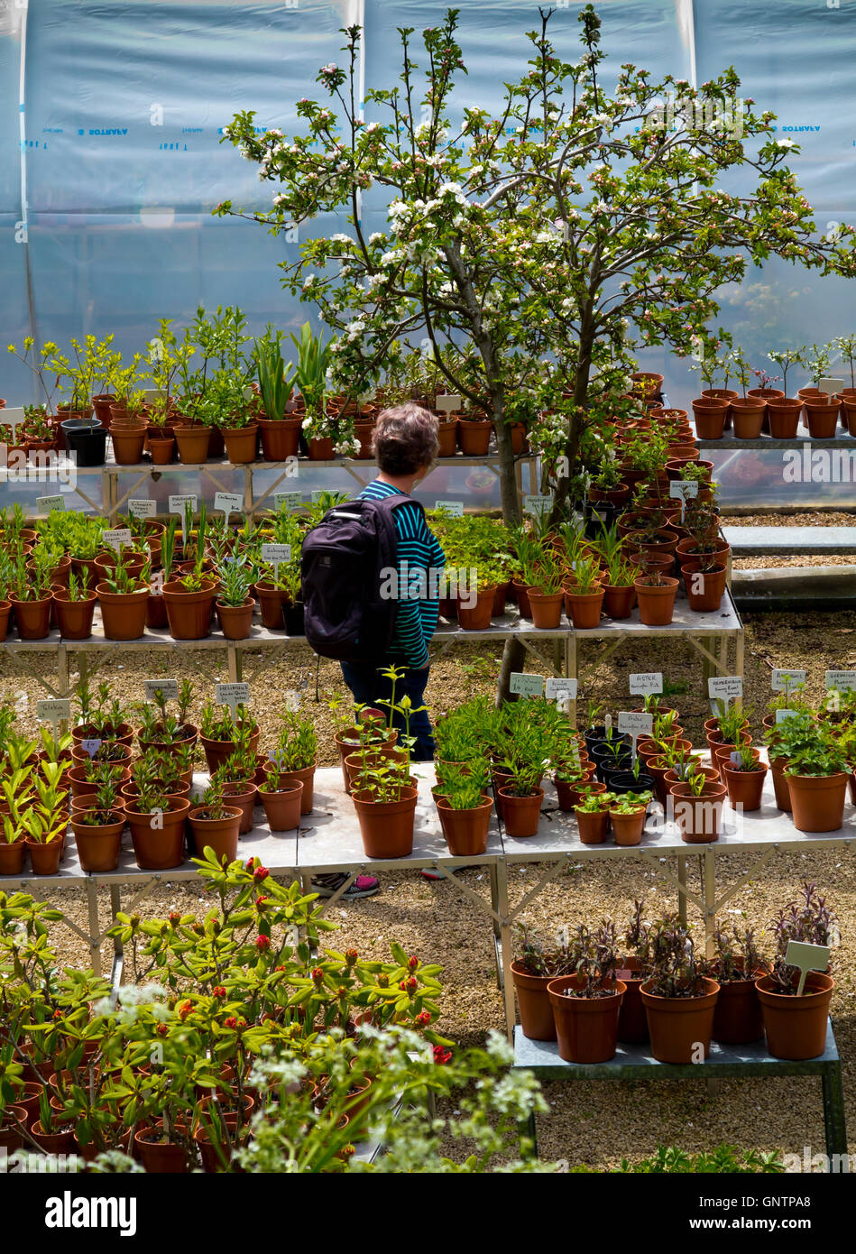 Woman looking at pot plants for sale in a garden centre - Stock Image