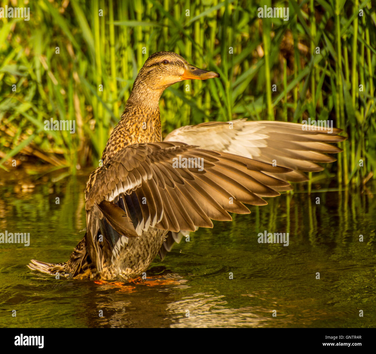 Close-up of Mallard female duck flapping her wings in nature pond Idaho, USA - Stock Image