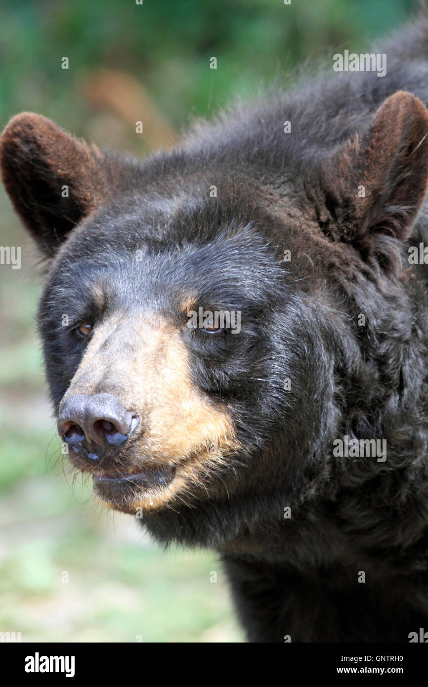 American Black Bear, Ursus americanus, at the Popcorn Park Zoo Animal Rescue Sanctuary, Forked River, New Jersey, - Stock Image