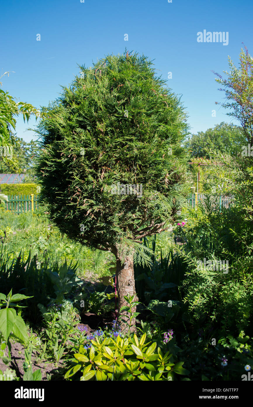 Thuya plant in the garden in Poland on August. - Stock Image