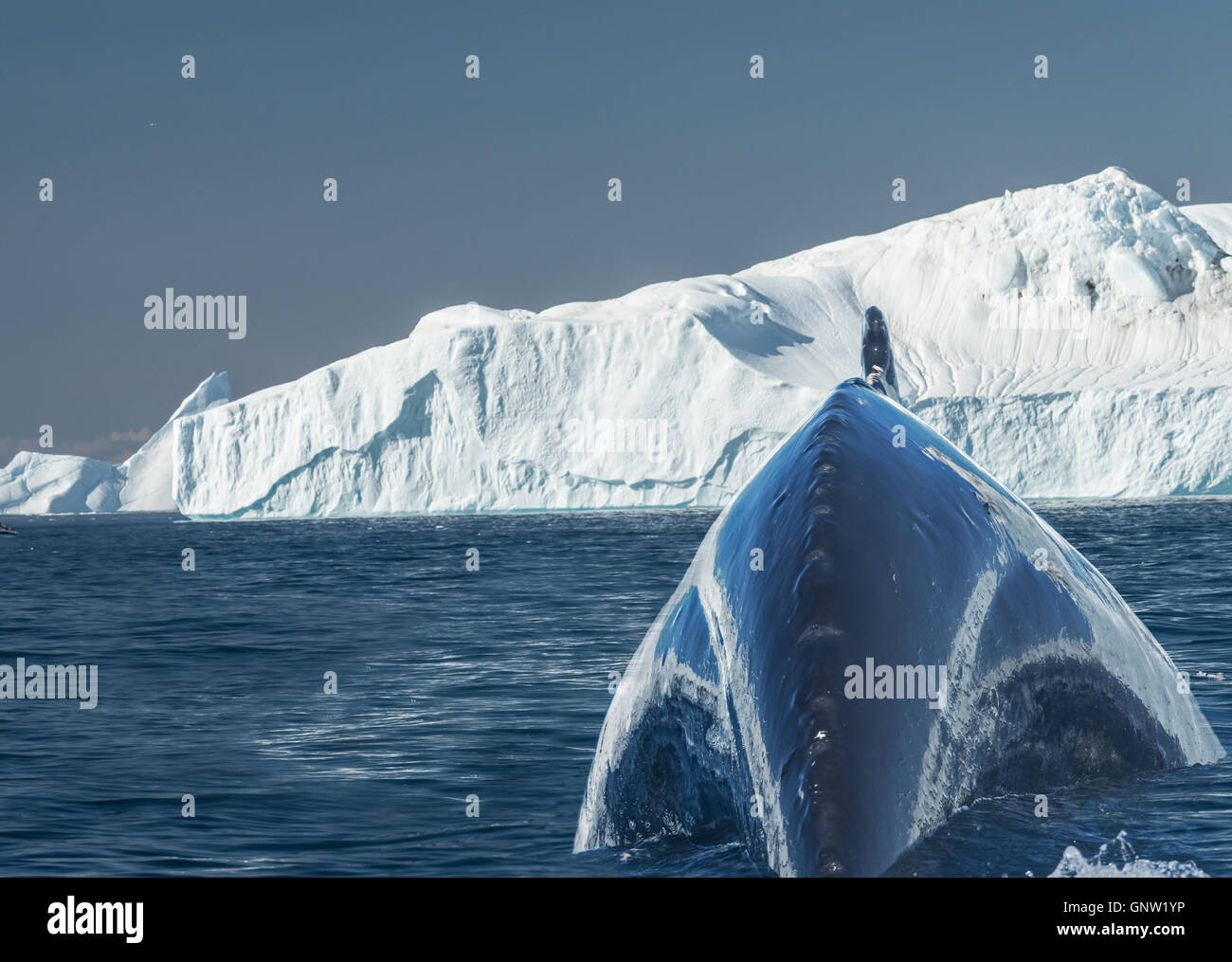 Humpback whales merrily feeding in the rich glacial waters among giant icebergs at the mouth of the Icefjord, Greenland - Stock Image