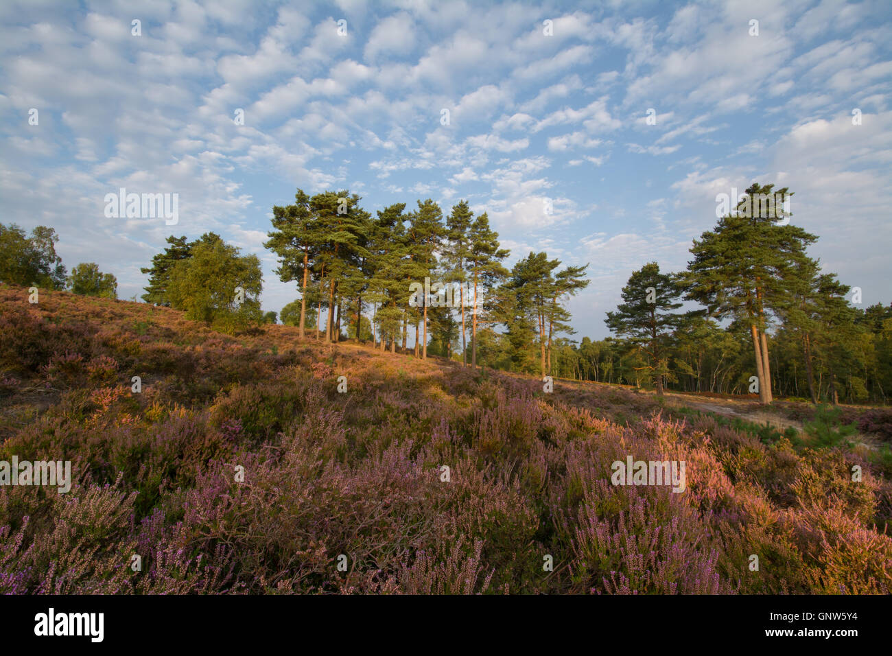 View over Witley Common, Surrey, England, in summer with heather in flower. Surrey Hills Area of Outstanding Natural - Stock Image
