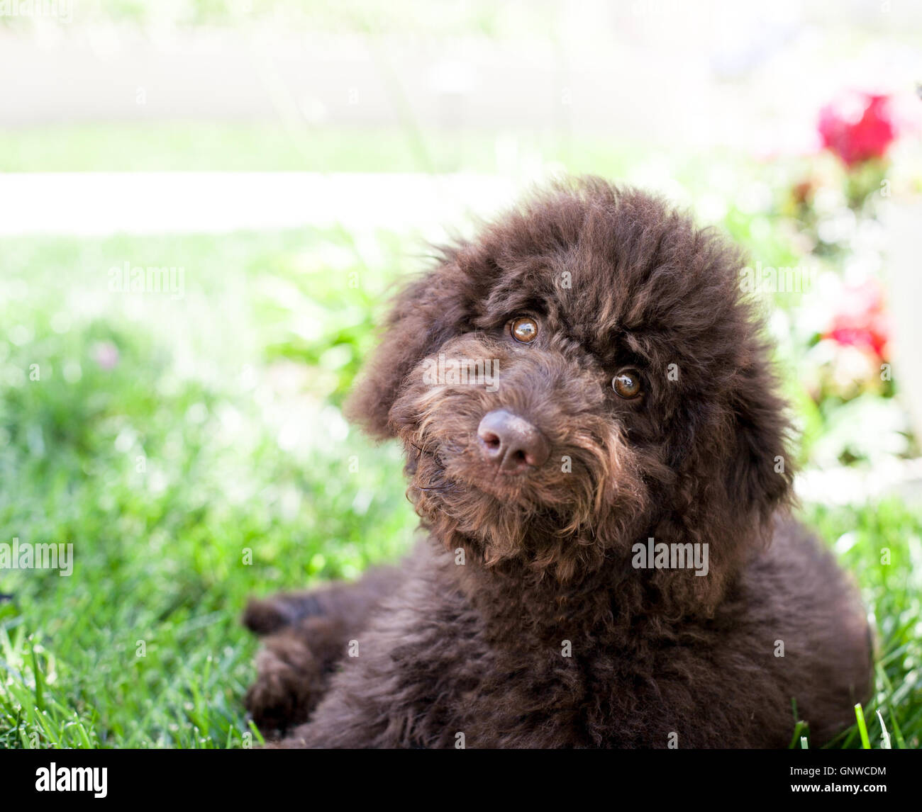 Cute Curly Chocolate Labradoodle Puppy Dog Lays In The Grass He Stock Photo Alamy