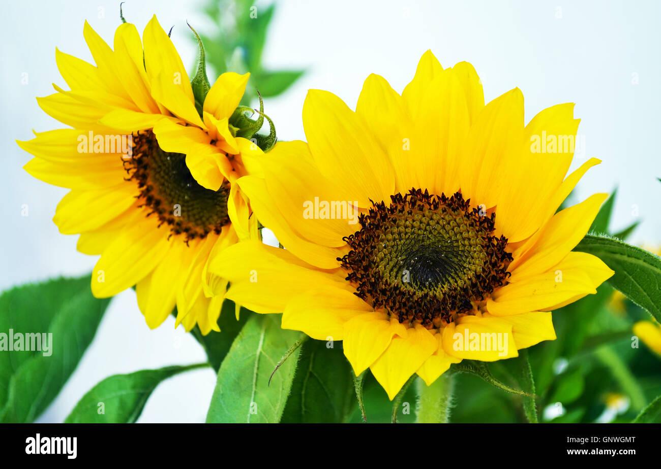 Big yellow flower stock photos big yellow flower stock images alamy yellow sunflower helios big yellow flower bouquet in vase stock image mightylinksfo