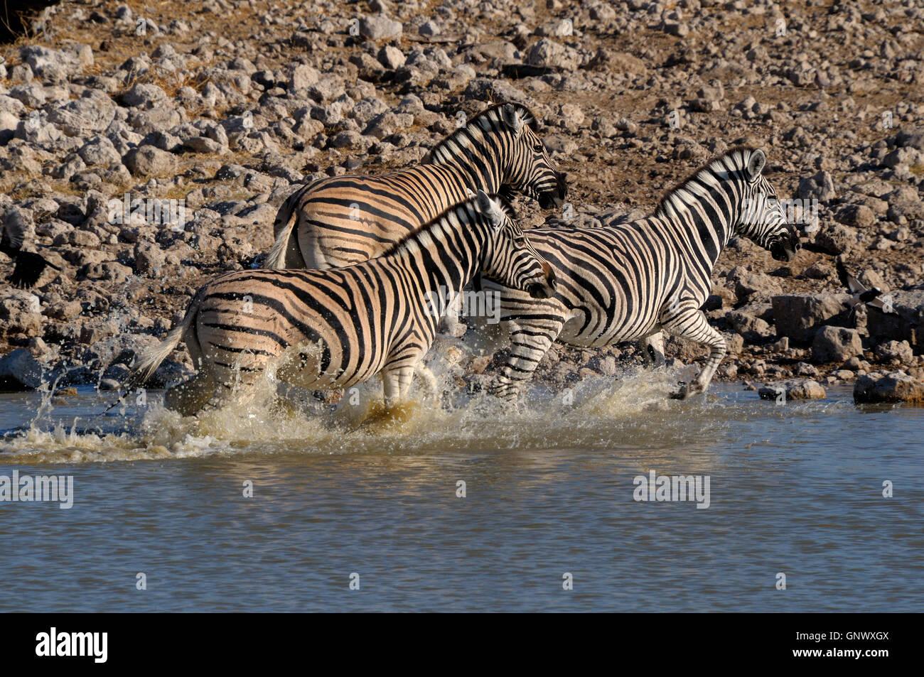 Zebra stampede, Okaukeujo waterhole - Stock Image