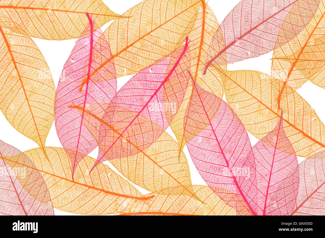 Transparent Leaf Stock Photo