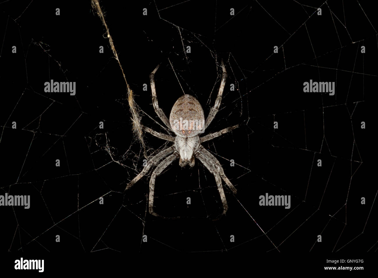 Orb web spider on web at night. California. USA - Stock Image