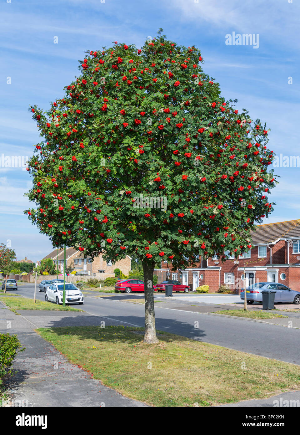 Mountain Ash tree (Rowan tree, Sorbus aucuparia) by the side of the road in a residential area in England, UK. - Stock Image