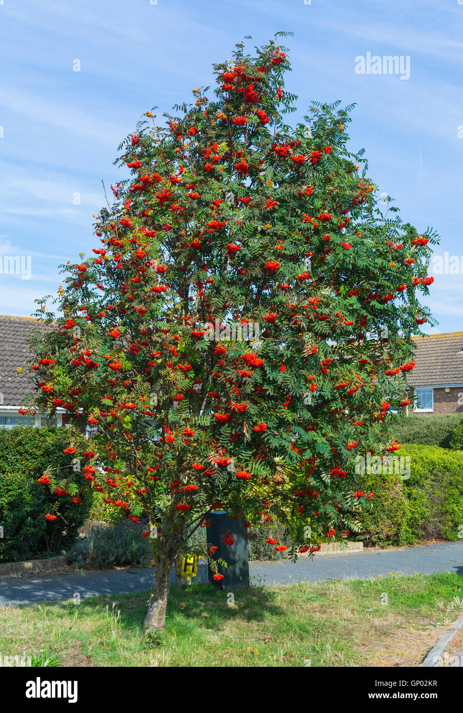 Rowan tree (Sorbus aucuparia, Mountain Ash tree) by the side of the road in a residential area in England, UK. - Stock Image