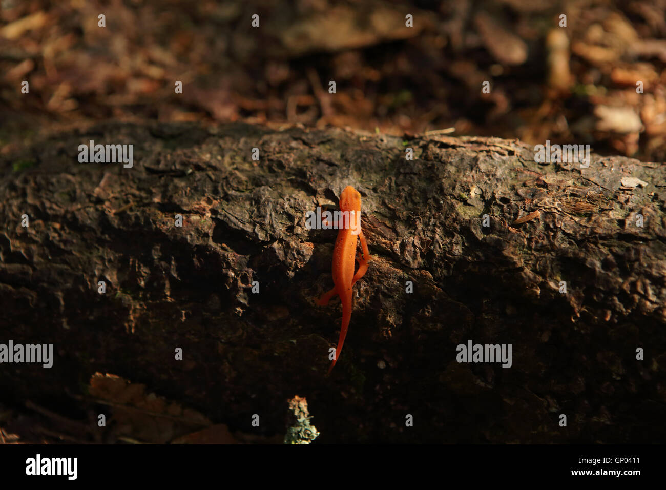 Red eft climbs a fallen log on the forest floor in the Green Mountains of Southern Vermont, USA Stock Photo