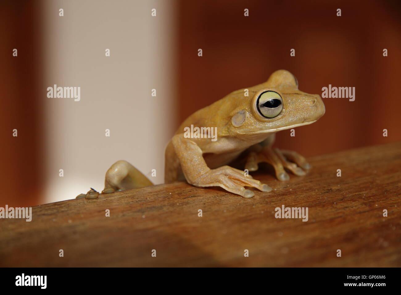 Close up shot of a Gladiator Tree Frog (Hypsiboas rosenbergi) in Manuel Antonio, Costa Rica. - Stock Image