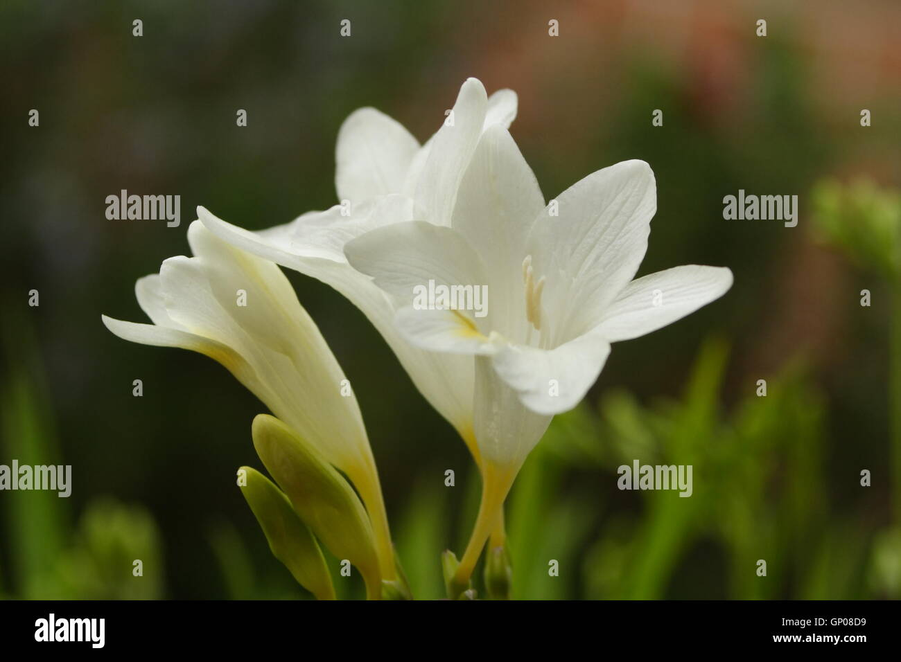 Bulb flowers in early spring stock photo 116791285 alamy bulb flowers in early spring mightylinksfo