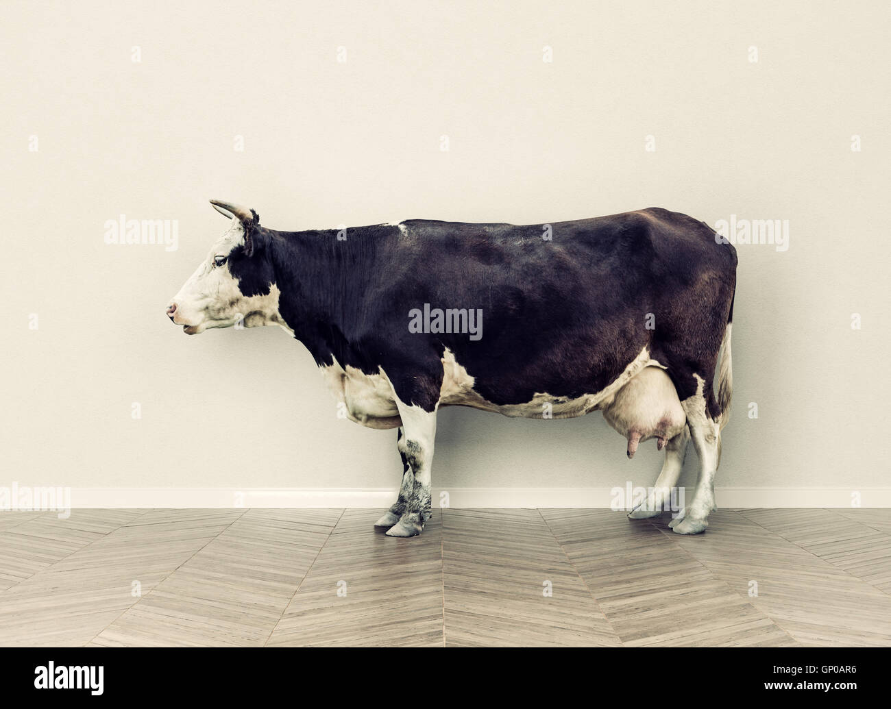 the cow in a room near white wall. Creative photo combination concept - Stock Image