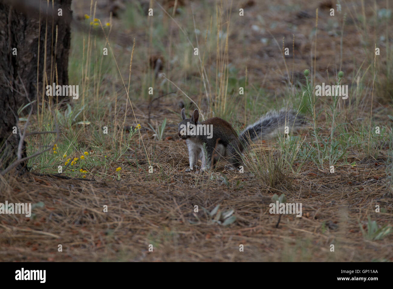 Abert's Squirrel, Sciurus aberti, foraging on forest floor. Kaibab Forest. Near the Grand Canyon South Rim. - Stock Image