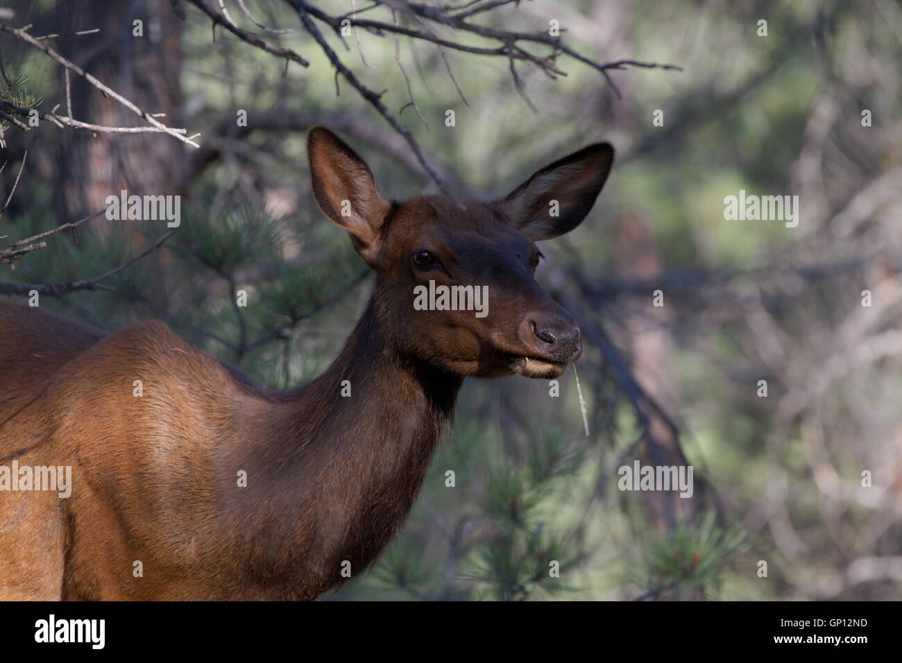 Elk in Kaibab Forest. Arizona USA - Stock Image