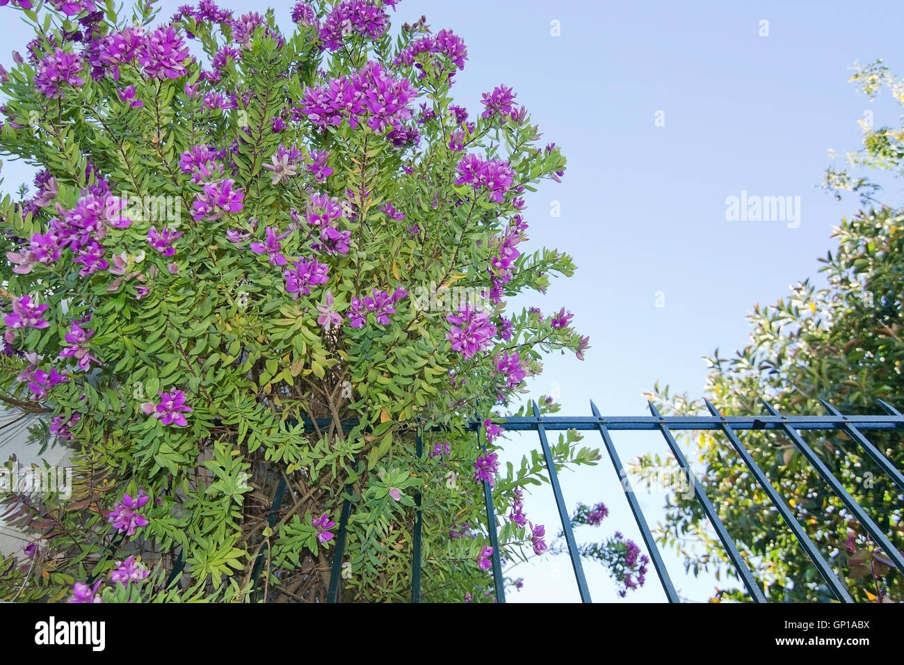Pink Flowers Spring Bush And Fence In Palma De Mallorca Spain Stock