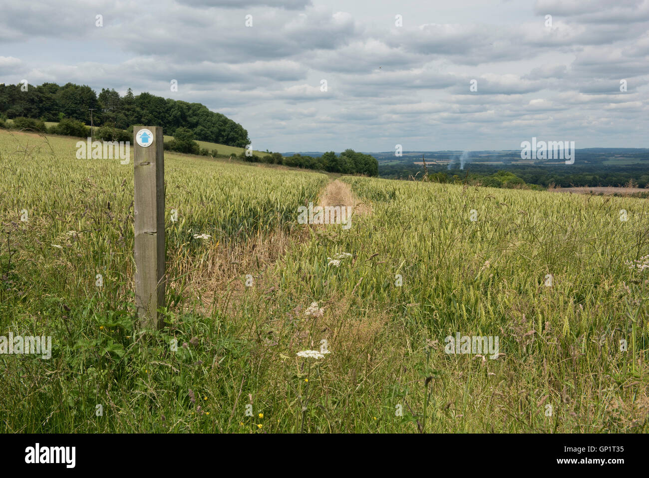 Footpath sign and path cut through stages of a winter wheat field on the North Wessex Downs in July Stock Photo