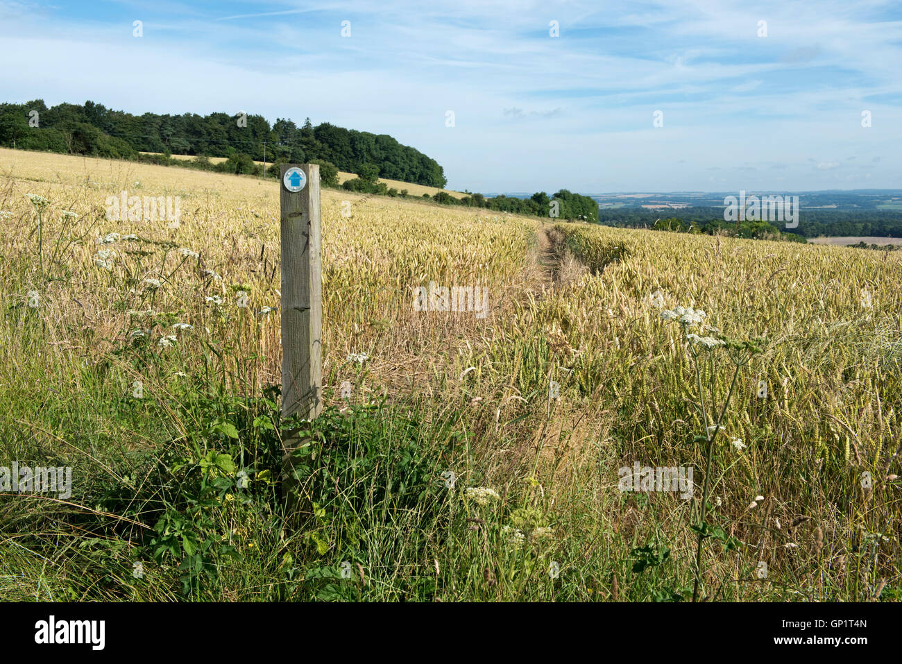 Footpath sign and path cut through stages of a winter wheat field on the North Wessex Downs in late July Stock Photo