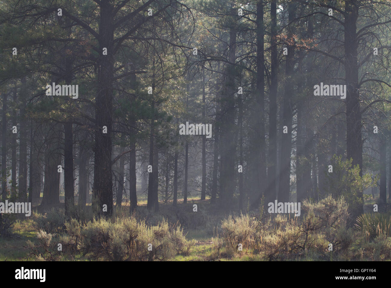 Smog from distant forest fire in Arizona, Kaibab Forest near the Grand Canyon.USA Stock Photo