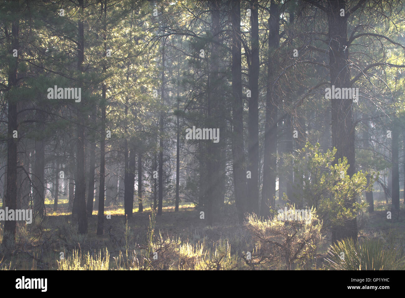 Smog from distant forest fire in Arizona Kaibab Forest near the Grand Canyon.USA - Stock Image
