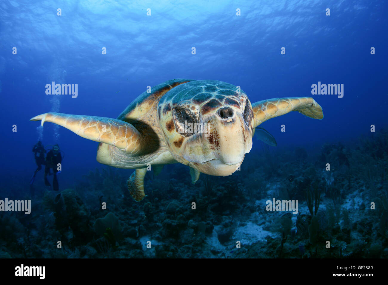 Loggerhead Sea Turtle, Caretta caretta, Turneffe Atoll, Caribbean, Belize Stock Photo