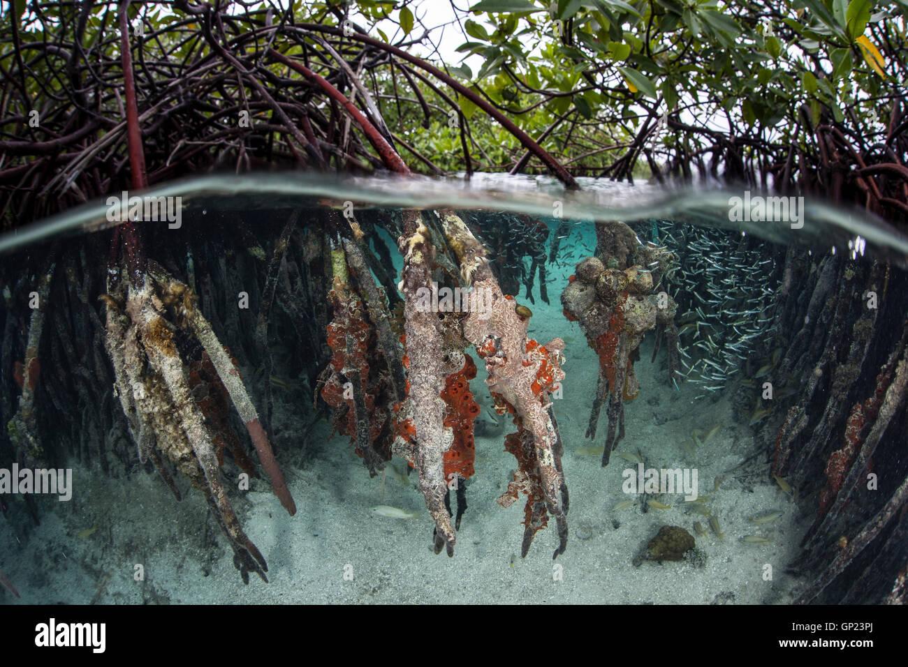 Ecosystem Mangroves, Rhizophora, Turneffe Atoll, Caribbean, Belize - Stock Image