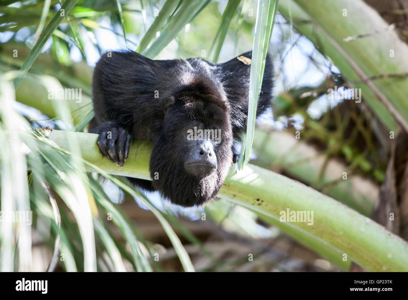 Black Howler Monkey, Alouatta pigra, Caribbean, Belize - Stock Image
