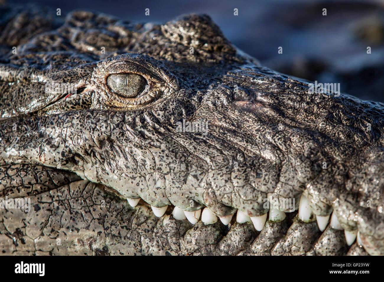 Head of American Crocodile, Crocodylus acutus, Turneffe Atoll, Caribbean, Belize - Stock Image