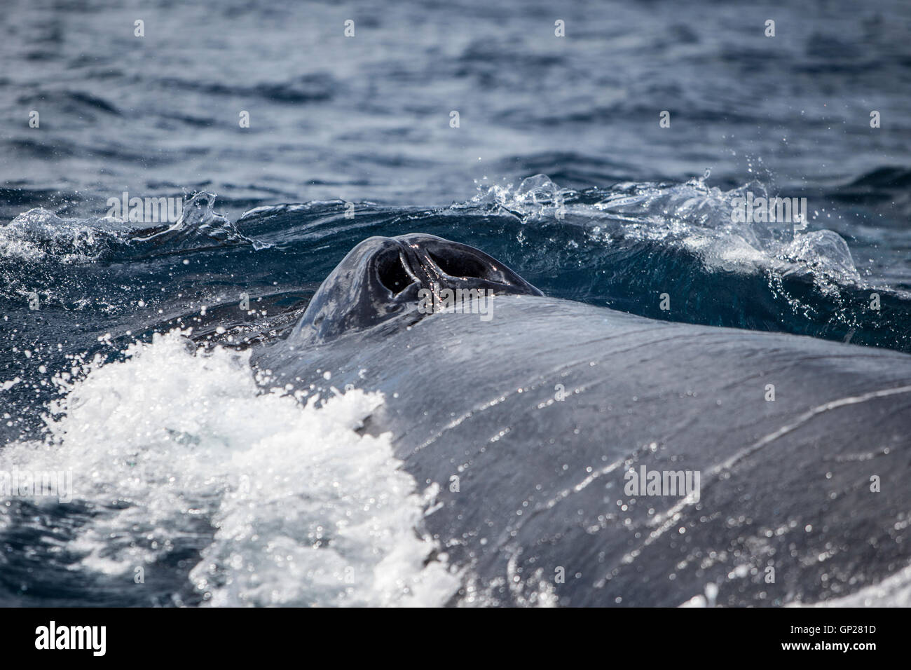 Humpback Whale breathing on surface, Megaptera novaeangliae, Silver Bank, Atlantic Ocean, Dominican Republic Stock Photo