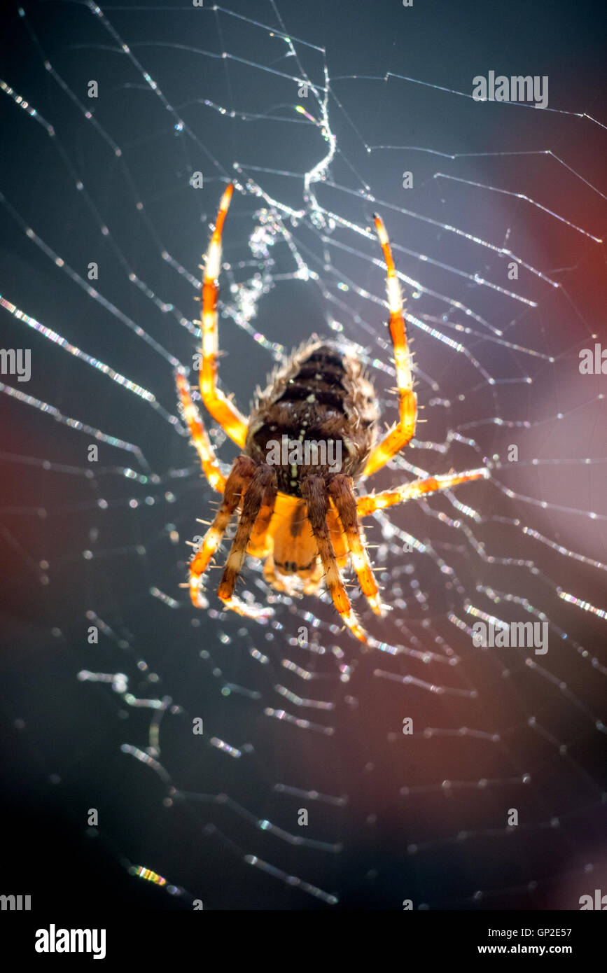 A common garden spider spinning a web in Sussex - Stock Image
