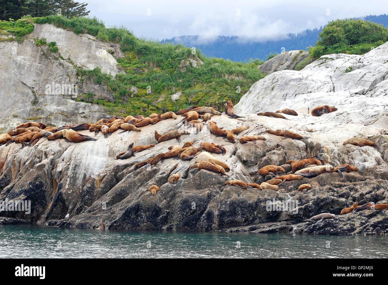 Steller sea lions basking by Dawes Glacier Fog clouds Endicott Arm Inside Passage Southeast Alaska USA - Stock Image