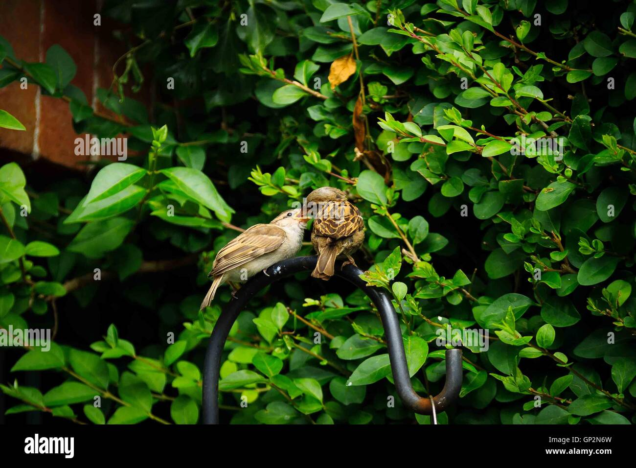 A baby sparrow being fed by it's parent perched on a wrought iron hoop  in an English garden - Stock Image