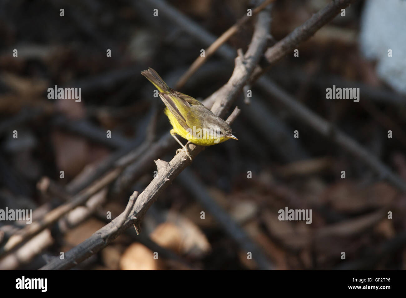 The Grey hooded Warbler (Phylloscopus xanthoschistos)  leaf warbler in Sattal near Nainital Uttarakhand Stock Photo