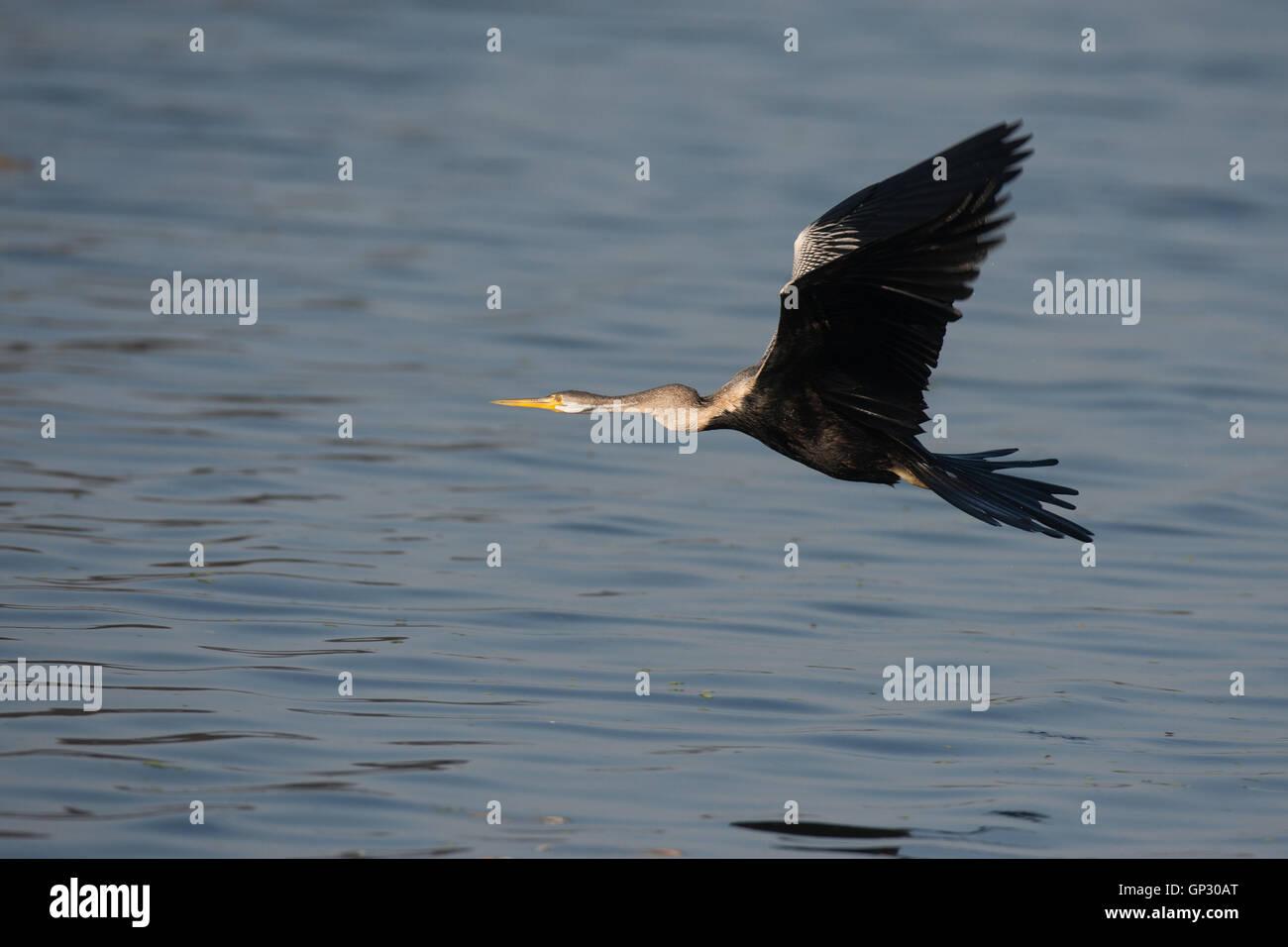 Darter Snake bird in flight at Bharatpur - Stock Image