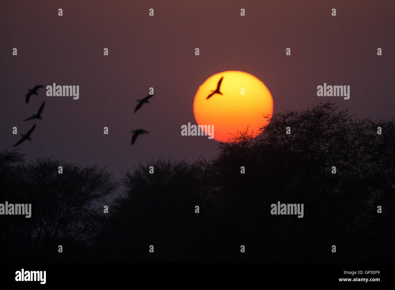 Silhouette of ducks and other birds during sunset at Bharatpur Keoladeo Bird Sanctuary UNESCO World Heritage Site - Stock Image