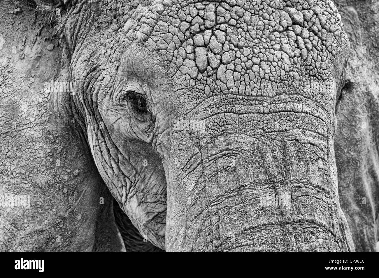 Black and white close up of an Elephants head showing texture of hide - Stock Image