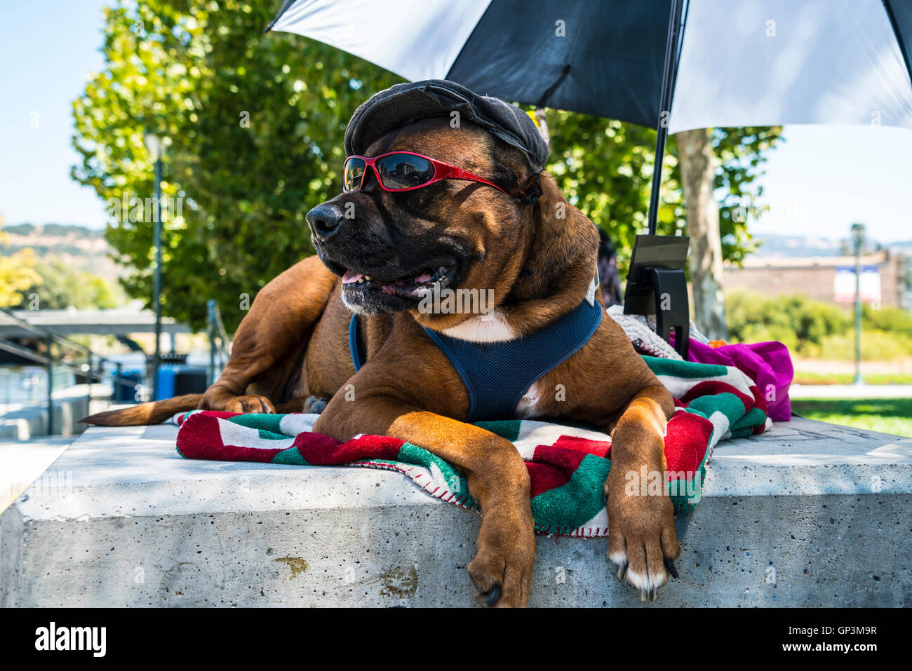 Large dog with hat and sunglasses relaxing in Napa California.....humorous - Stock Image