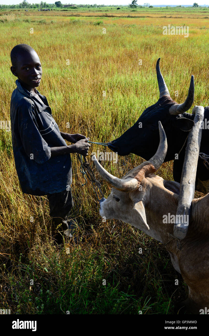 BURKINA FASO, Bobo Dioulasso, village  Bama, rice farming for Hybrid seed production, farmer with ox plough the - Stock Image